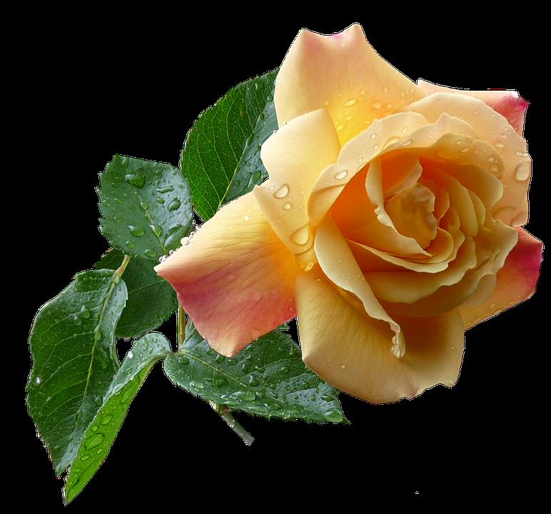 Yellow Rose Flower Free Photo On Pixabay