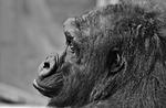 gorilla, monkey, animal