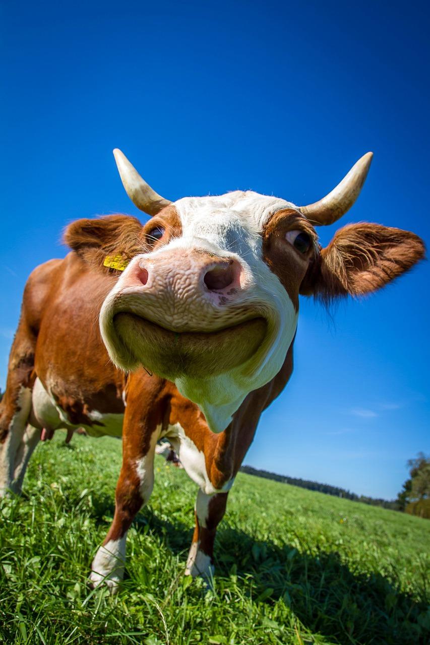 Анимации днем, веселые коровы картинки