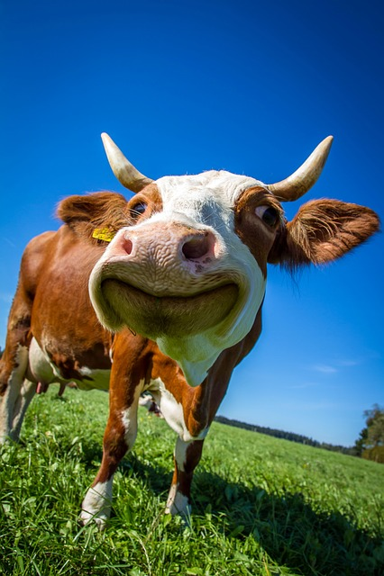 Cow funny ruminant free photo on pixabay - Photo de vache drole ...
