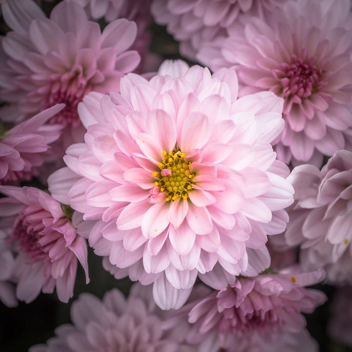 Chrysanthemum Images Pixabay Download Free Pictures