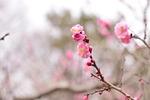 plum, flowers
