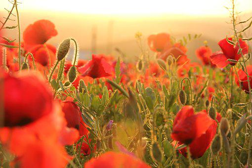 Poppies, Sunset, Field, Horizon