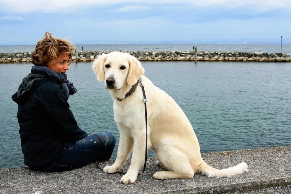 Beyaz Köpek Golden Retriever Pixabayde ücretsiz Fotoğraf