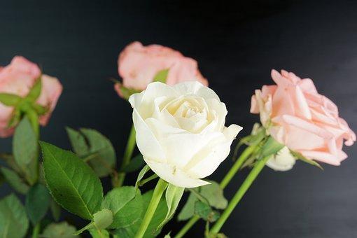 Rosa, Fiore, Natura, Rosa Rosa, Bellezza