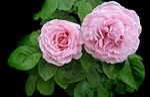 rose, pink, ruffled