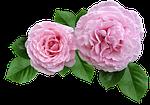 rose, pink