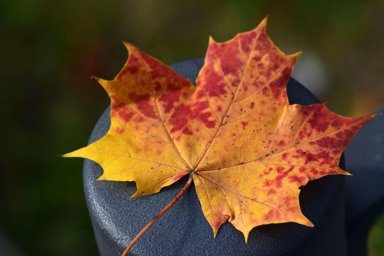 красивые картинки кленовые листья некоторых