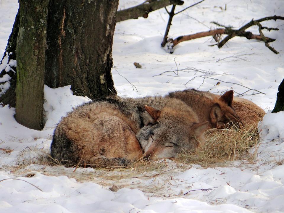 Photo gratuite: Loup, Rêver, Mammifère, Forêt - Image gratuite sur ...