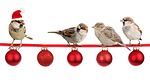sparrows, christmas, christmas time