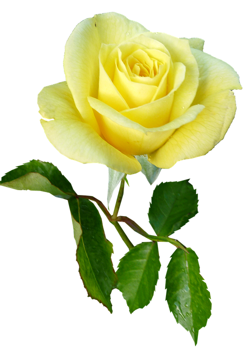 Rose Yellow Single Stem Free Photo On Pixabay
