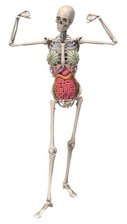 Skeleton Anatomy Female · Free image on Pixabay