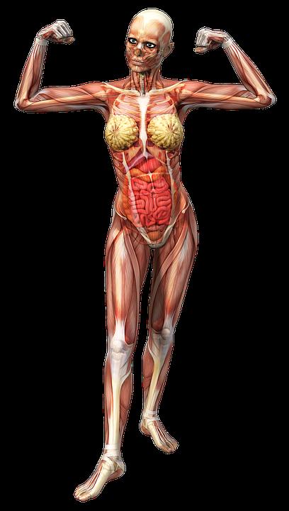 Anatomie Weiblich Muskeln · Kostenloses Bild auf Pixabay