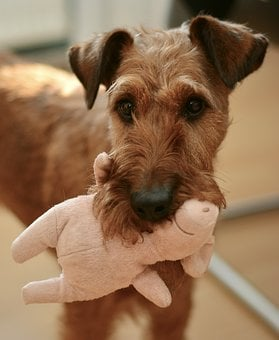Hund, Irish Terrier, Hundeportrait