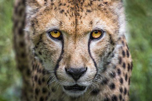 Cheetah, Big Cat, Predator, Wild Animal