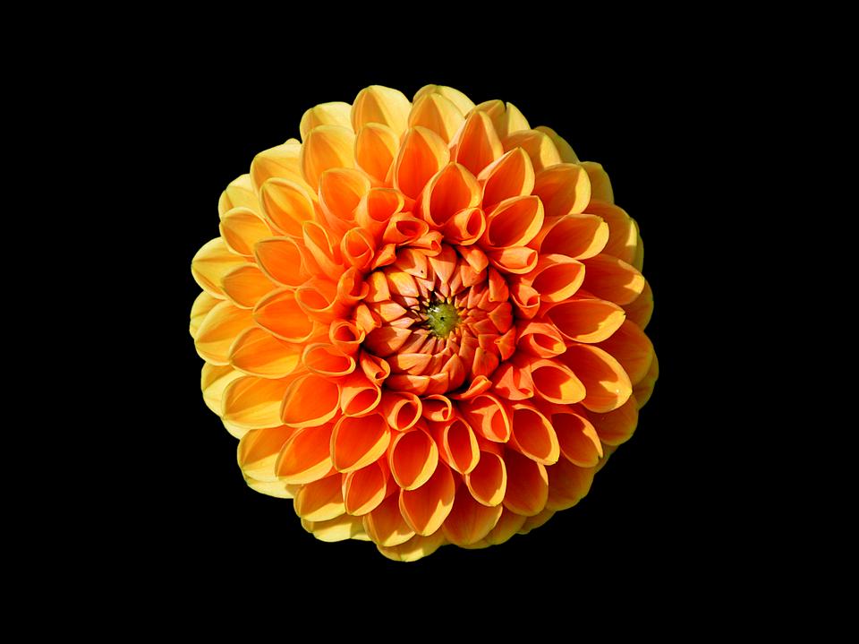 Dahlia Flower 183 Free Image On Pixabay