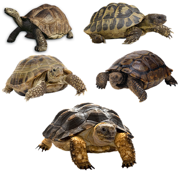 Turtle, Isolated, Tortoise, Panzer