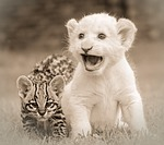 friends, friendship, lion cub