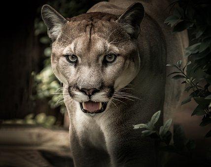 Puma, Feline, Predator, Wild, Portrait