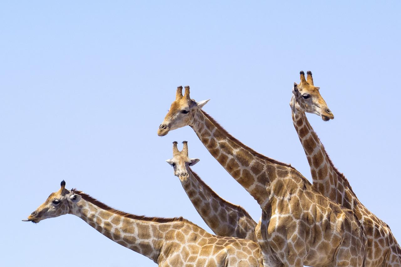 Приколы про жирафов картинки, наушниках прикольные