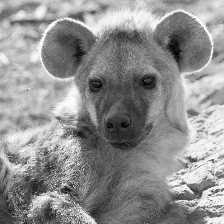 hyener