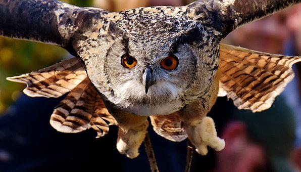 Owl, Raptor, Bird, Feather, Plumage