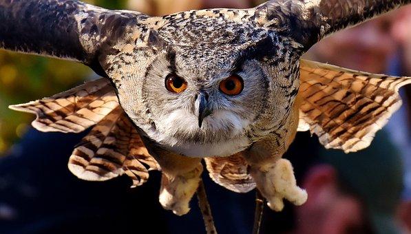 Owl, Raptor, Bird, Feather, Plumage