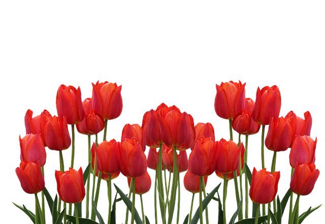 Tulips Spring Nature 183 Free Photo On Pixabay