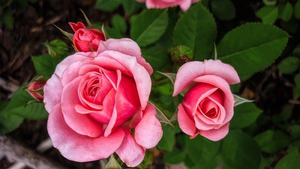 Fleurs, Flore, Rose, Nature