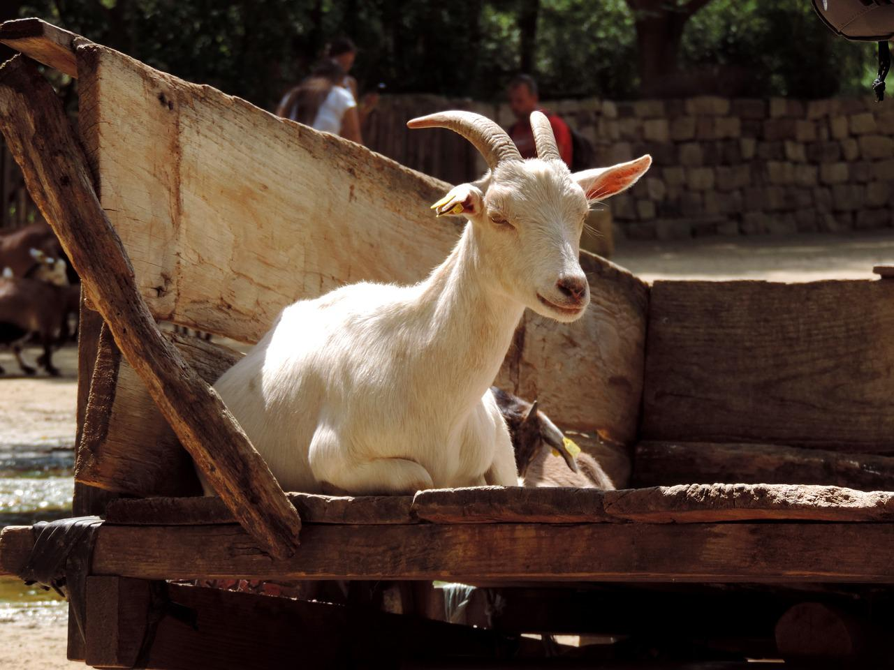 картинки козы картинки козы браслеты