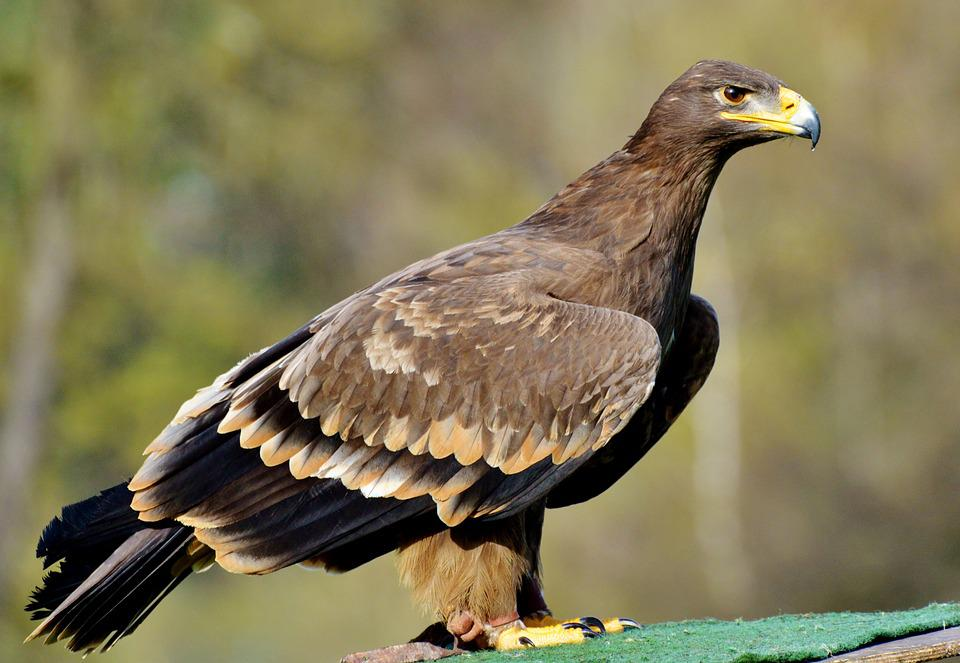 brown eagle images pixabay download free pictures