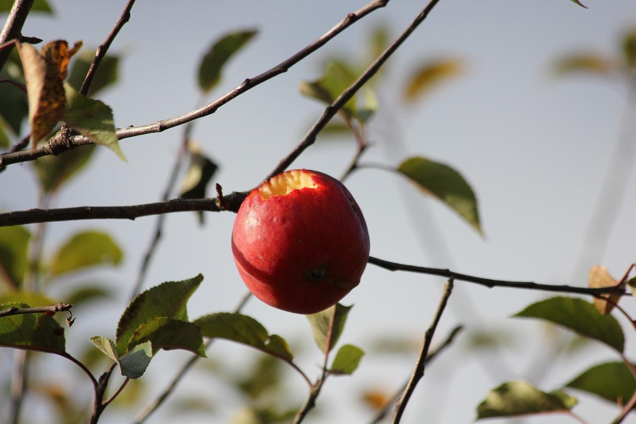 картинка осенней яблони с одним яблоком этом