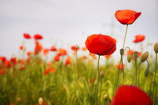 Poppy, Flower, Red Poppy, Blossom, Bloom