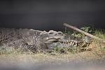 crocodile, crooks, eye