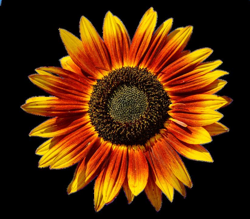 Sun Flower Flowers Blossom Bloom Summer