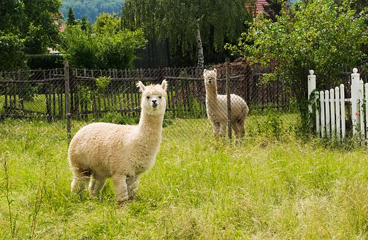 Alpaca, Bright Coat, Nature, Curious