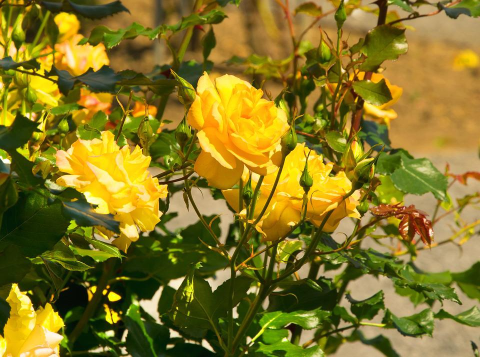 Yellow Roses Images Pixabay Download Free Pictures