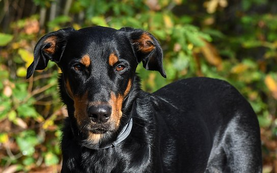 Dog, Beauceron, Animal, Green, Beauceron
