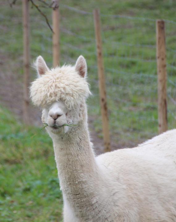 Alpaca Lama Funny Fur Head Wool White Meadow