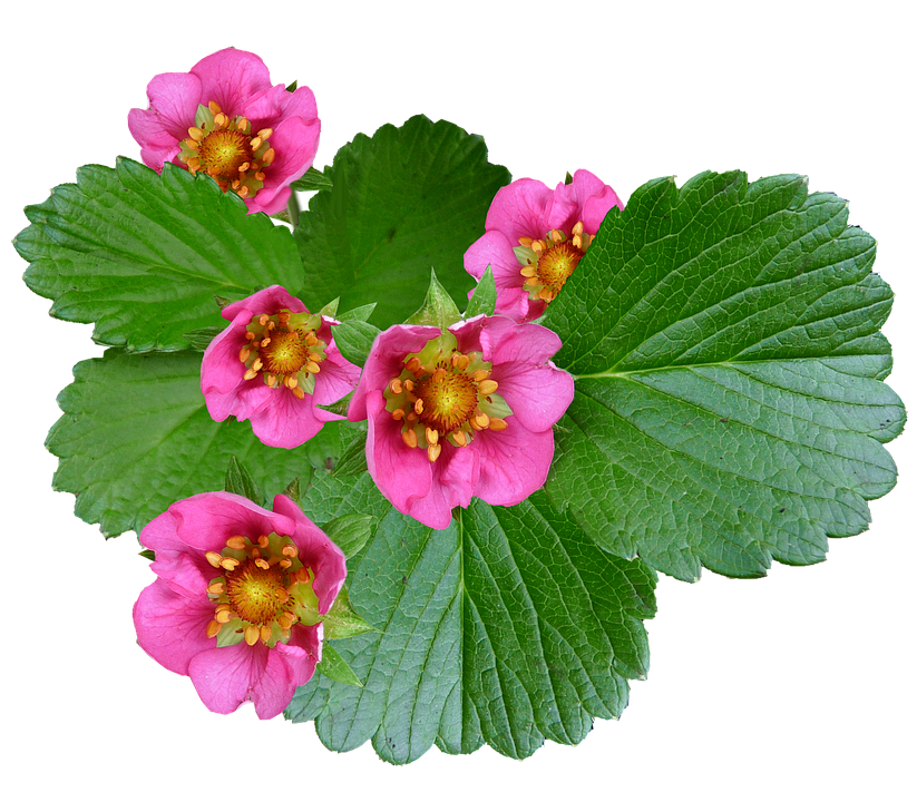 Flowers pink strawberry free photo on pixabay flowers pink strawberry plant mightylinksfo