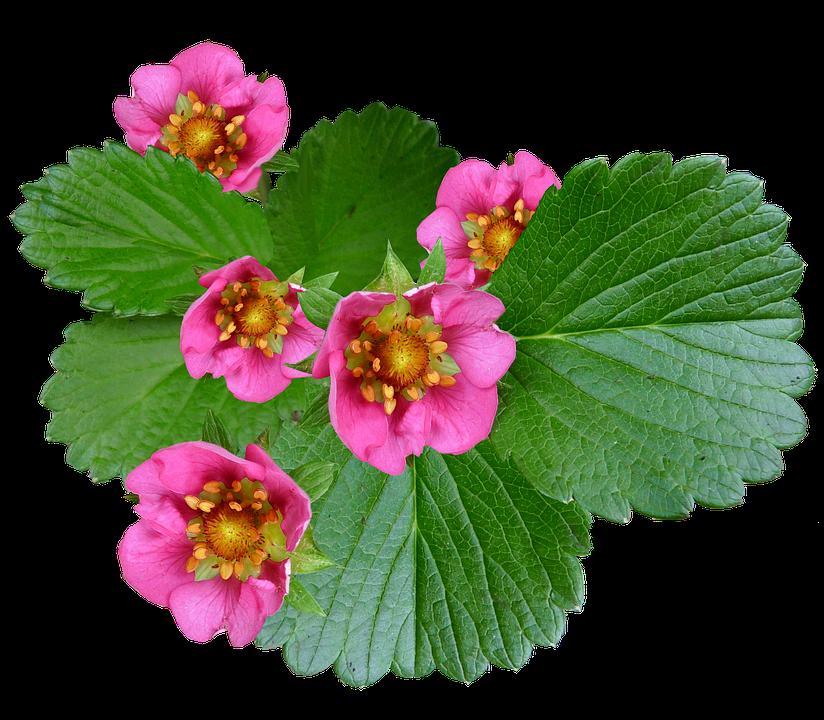 Flowers pink strawberry free photo on pixabay flowers pink strawberry plant mightylinksfo Gallery