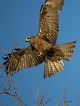 australia, kite, bird