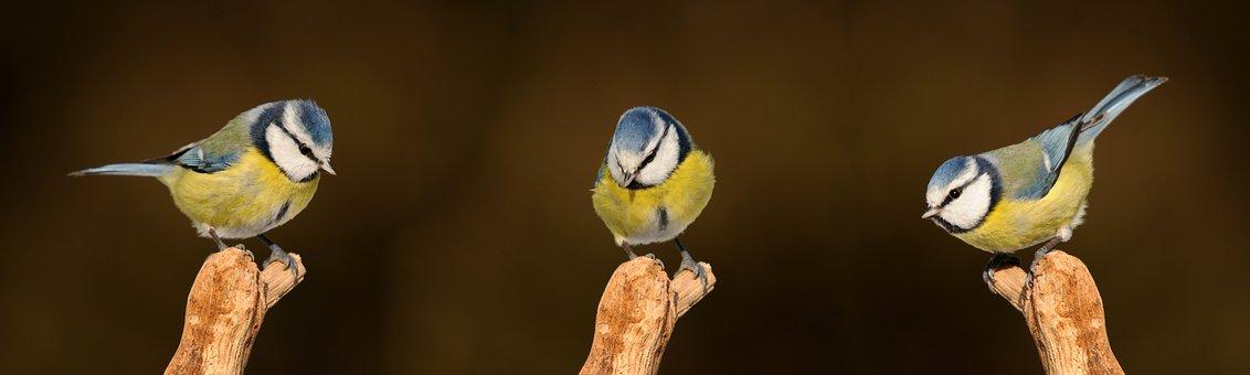Blue Tit, Songbird, Bird, Nature
