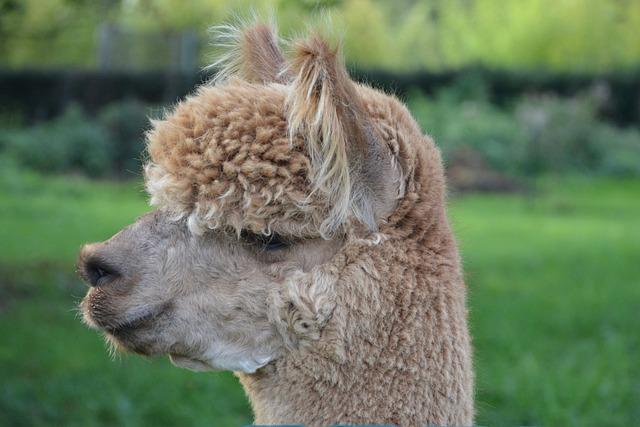 Lama Head Profile Domestic 183 Free Photo On Pixabay