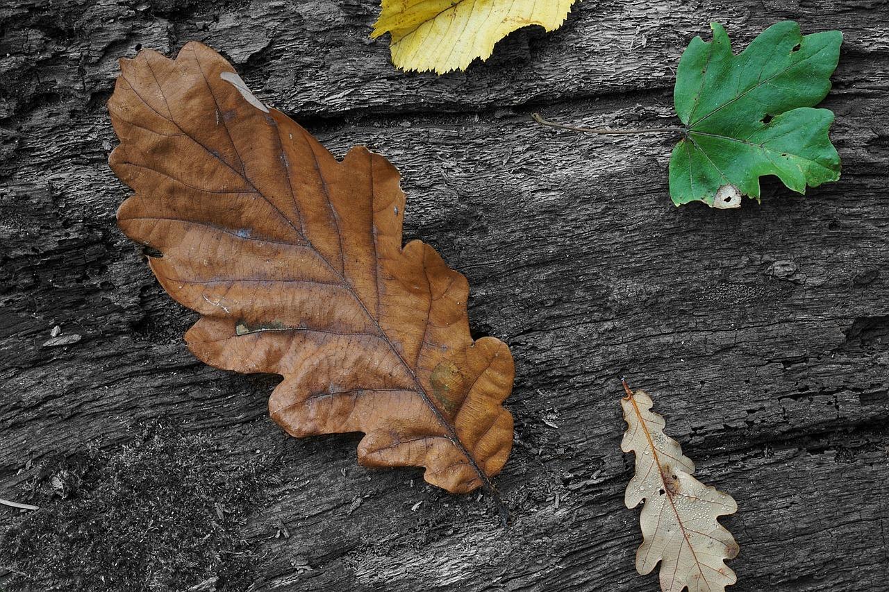 Дубовые листья осенние фото