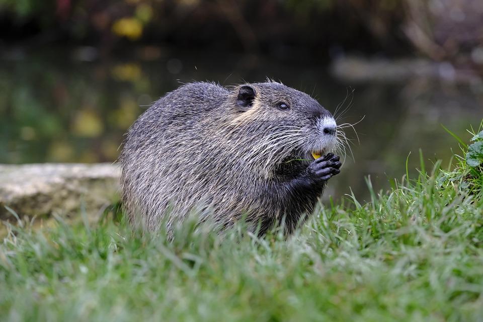 Nutria, Beaver, Muskrat, Ondatra Zibethicus, Rodent