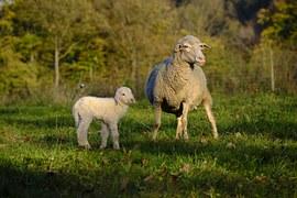 sheep 2912432  180 Black Sheep Coffee Free Illustration Sheep Lamb Sketch Drawing Free Image On Pixabay