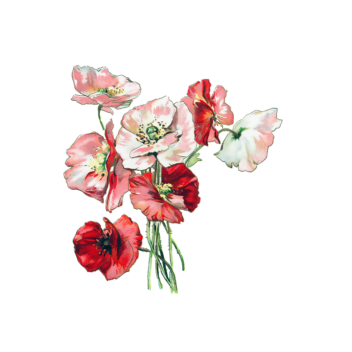 Flowers poppies poppy free image on pixabay flowers poppies poppy vintage nature red plant mightylinksfo
