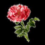 rose, flower, vintage