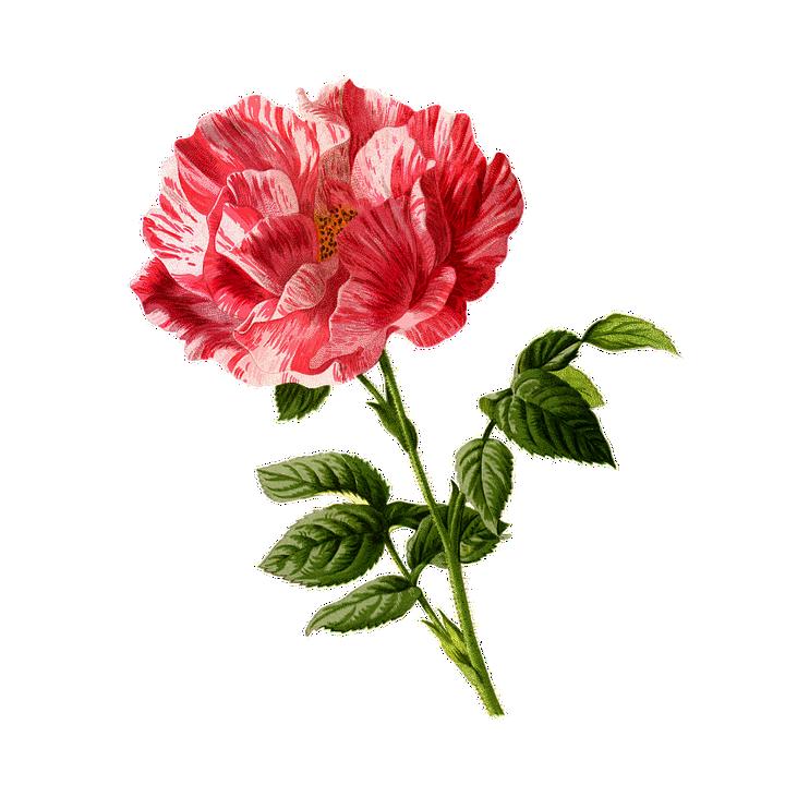 Rose, Fleur, Vintage, Art, Cu Tout, Dos,Nu, Floraux